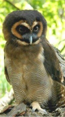 Gypsy - Malaysian Wood Owl